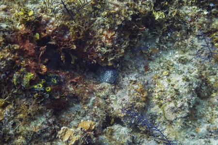 spotted: spotted moray eel hidding in a crevace Stock Photo