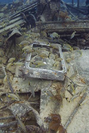 reefscape: Fish school of bluestripped grunt in a shipwreck