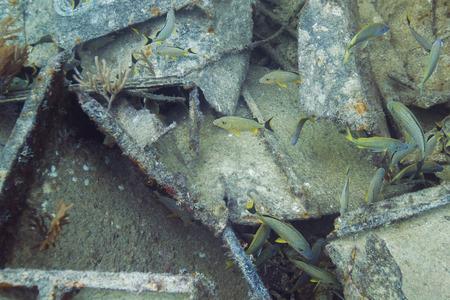 grunt: small school of bluestripped grunt in a shipwreck