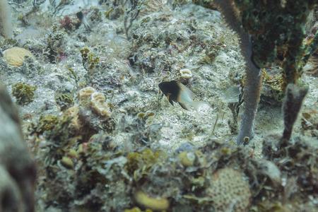 bicolor: single Bicolor damselfish in a coral reef