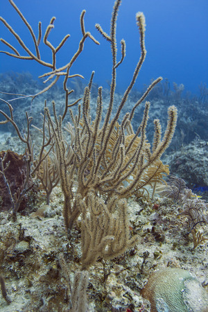 brilliant   undersea: Coral and algea in a bahamian reef