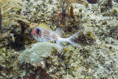 bahama: close up of a squirrelfish in a coral reef