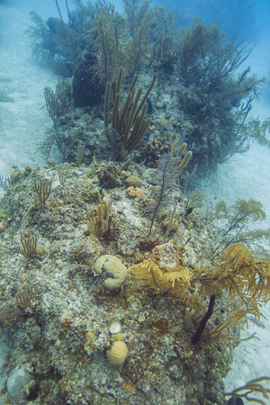 Coral reef in deep water in the bahamas filled with life