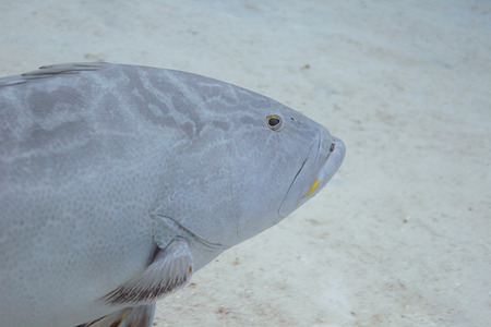 epinephelus: Close up of a nassau grouper coming in from the left