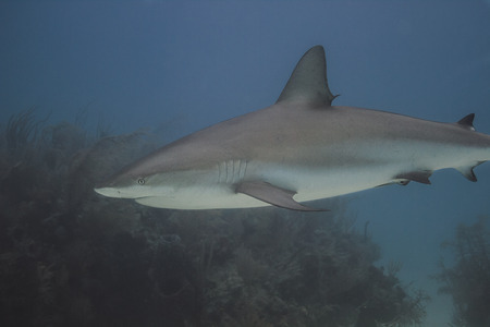 bahamian: close up of a reef shark in bahamian reef