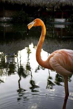 flamenco ave: retrato de un pájaro rosado del flamenco