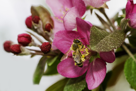 bee on flower: bee working in an apple tree flower Stock Photo