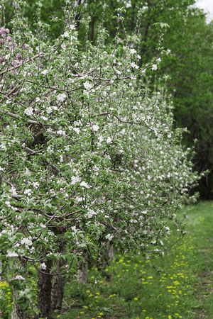 full filled: apple tree orchard filled with white flower in full bloom