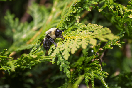 Bumblebee resting on a cedar branch