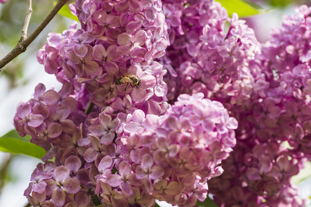 small wild bee working on a lilac flower