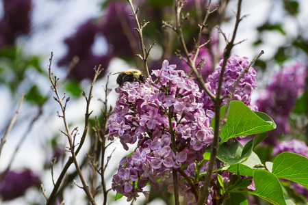 Bumblebee working on a lilac flower