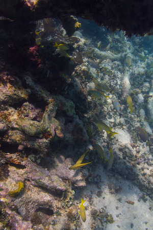 reefscape: French grunt swimming in a coral reef