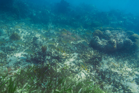 reefscape: School of french Grunt swimming at the bottom of the ocean