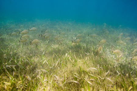 reefscape: huge school of french grunt swimming in a grass like algae cover ocean floor