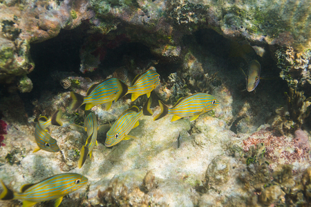 reefscape: small group of french grunt in a coral reef crack