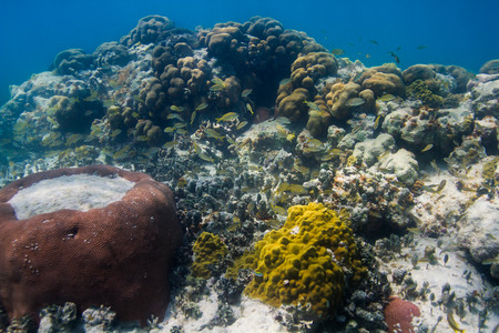 reefscape: school of french grunt living in a coral reef