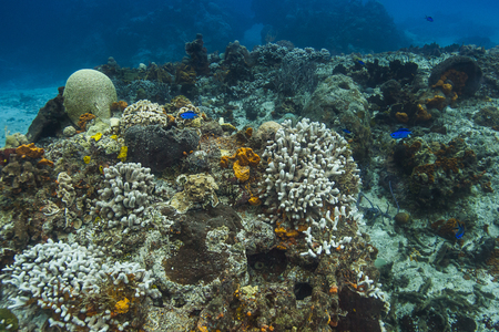 blue chromis living around bleached coral