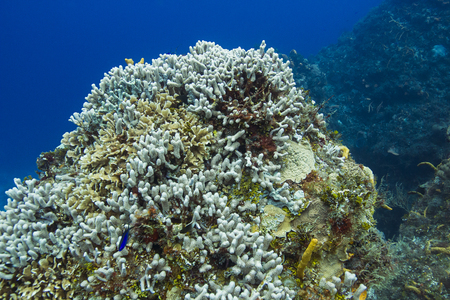 large outcrop of coral deep bleached by pollution