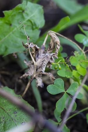 Dead leaves from a cucumber plant among weeds