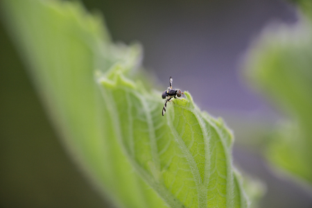 Canada thistle gall fly on the leaf of a sunflower plant Stock Photo