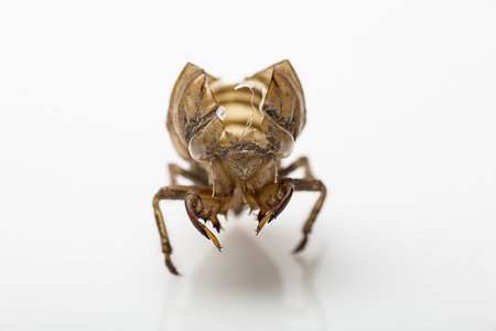 Dry cicada shell open on the top
