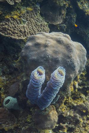 two small barrel sponge growing in a reef