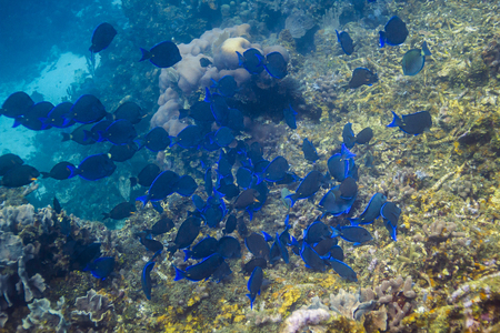 Large school of blue tang fish feeding in a reef Stock Photo