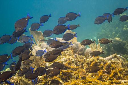 Large school of Acanthurus coeruleus swimming in a reef