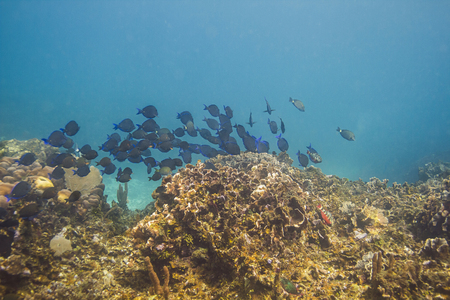 School of blue tang fish swimming pass a coral reef