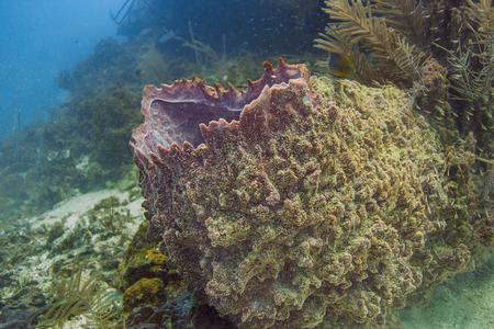 Xestospngia muta in a caribbean sea