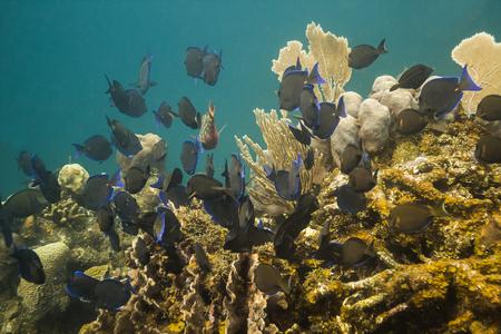 school of acanthurus coeruleus swimming aways
