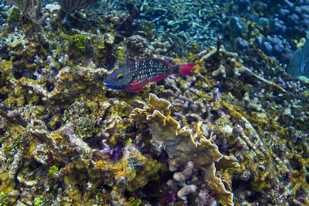 Sparisoma viride in initial phase swimming in coral reef