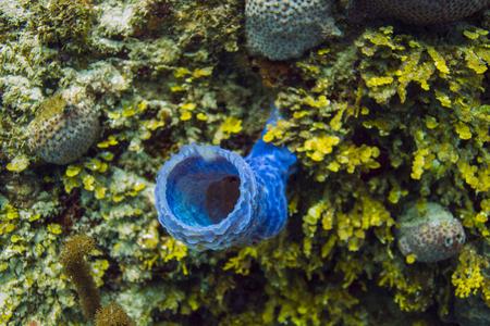 Blue callyspongia vaginalis growing in a reef
