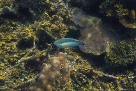 single scarus taeniopterus swimming in a reef