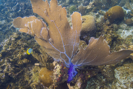 Large Gorgonian being push by water current