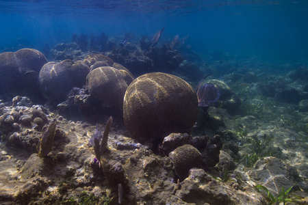 Multiple large ball of Grooved Brain Coral Stock Photo