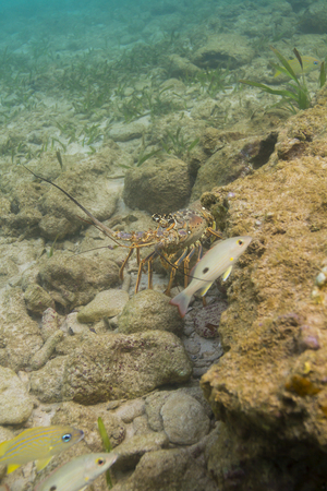 Caribbean spiny lobster and fish in a rocky reef