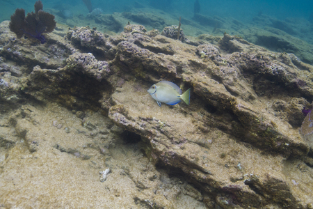 Single ocean surgeonfish in a rocky reef in Roatan Stock Photo