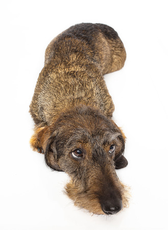 Wire haired dachshund laying down on a isolated on a white background Stock Photo