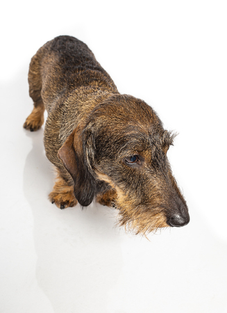 Wire haired dachshund looking off to the right on a isolated on a white background Stock Photo - 116287443