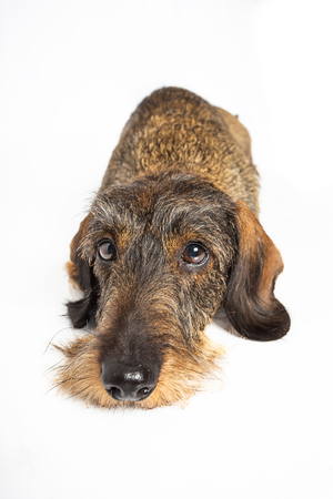 wire haired dachshund dog laying down, isolated on a white background Stock Photo - 116287449
