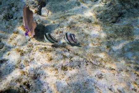 two chaetodon striatus eating on the ocean floor