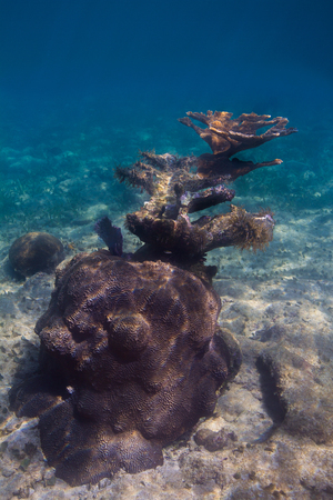 Large coral growing out in an atlantic reef
