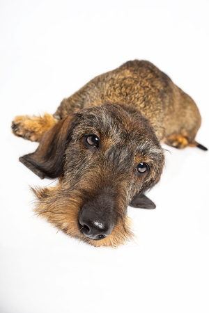 sleepy wire haired dachshund dog laying down, isolated on a white background