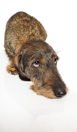 Wire haired dachshund laying down and looking up to the right on a isolated on a white background Stock Photo