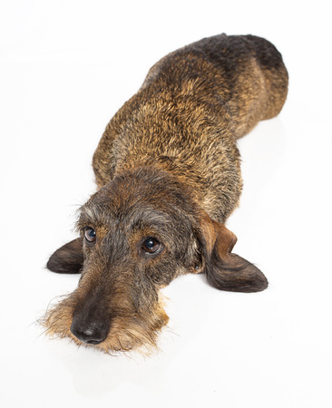 Wire haired dachshund dog laying down and looking up