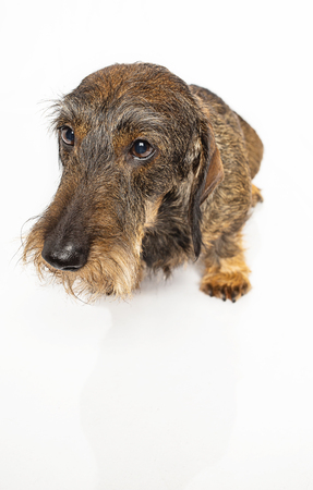 Wiener dog with a sad expression isolated on white background