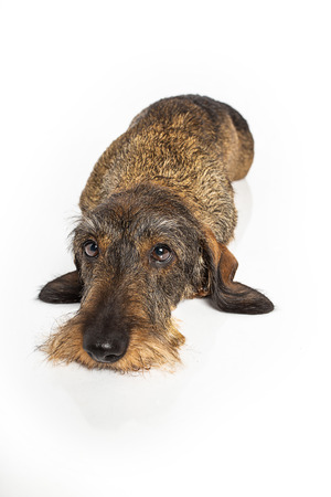 wiener dog laying down, isolated on a white background
