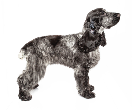 English cocker spaniel isolated on a white background Фото со стока