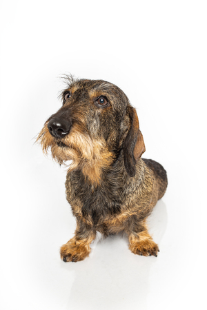 Wire haired dachshund dog sitting down on a isolated on a white background